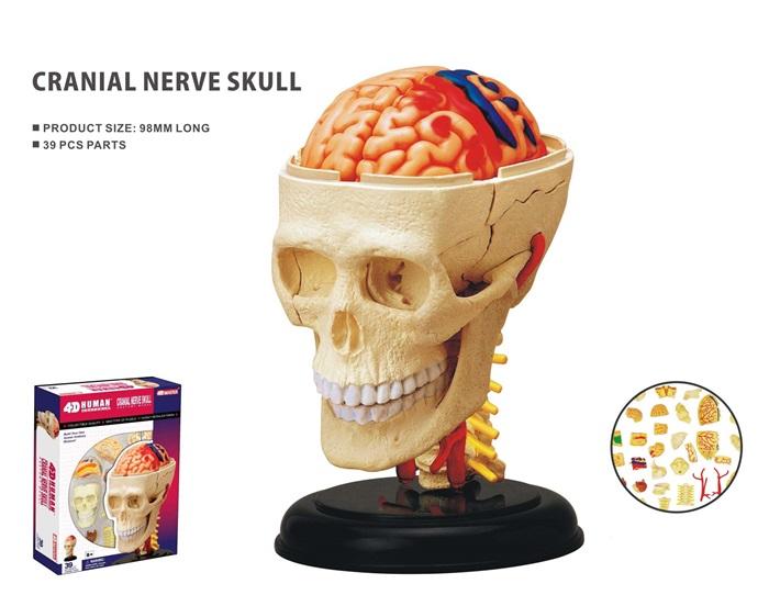 Anatomie Hersenen zenuwstelsel
